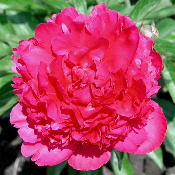 Paeonia 'Felix Crousse' Garden Peony