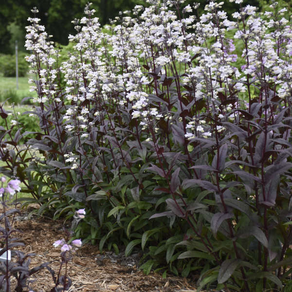 Penstemon 'Onyx and Pearls' Beardtongue