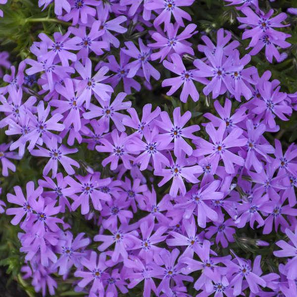 Phlox 'Bedazzled Orchid' Hybrid Spring Phlox