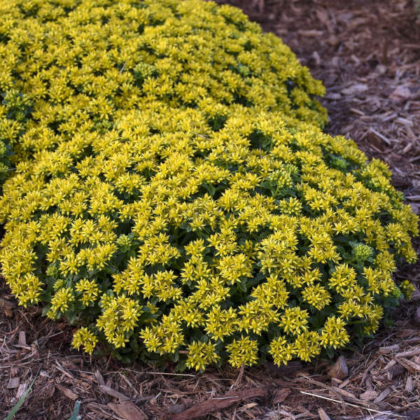 Sedum 'Little Miss Sunshine' Stonecrop