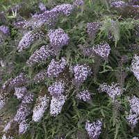 Buddleia 'Lilac Cascade'