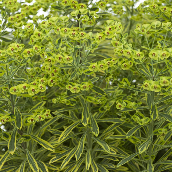 Euphorbia 'Ascot Rainbow' Spurge