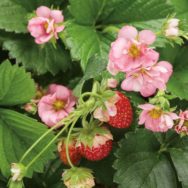 Fragaria BERRIED TREASURE® Pink Ornamental and Edible Everbearing Strawberry