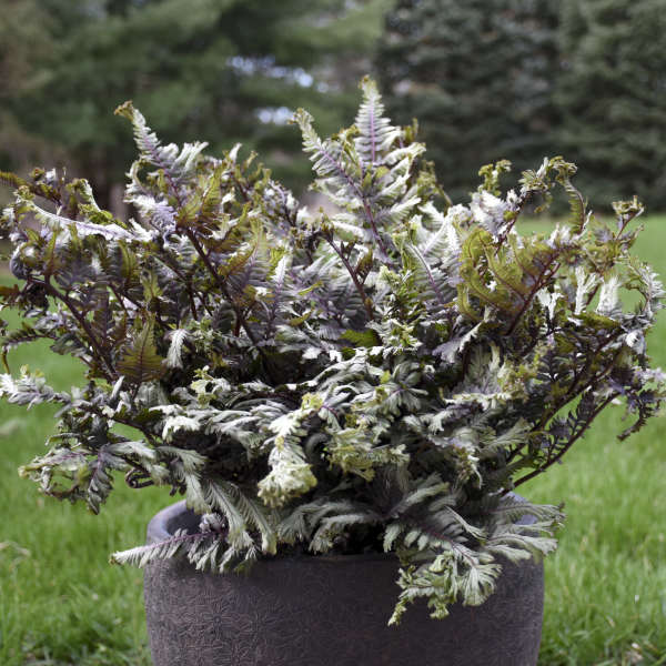 Athyrium 'Crested Surf' Crested Japanese Painted Fern