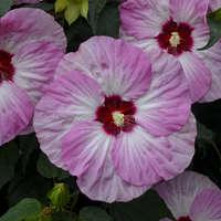 Hibiscus 'Spinderella'