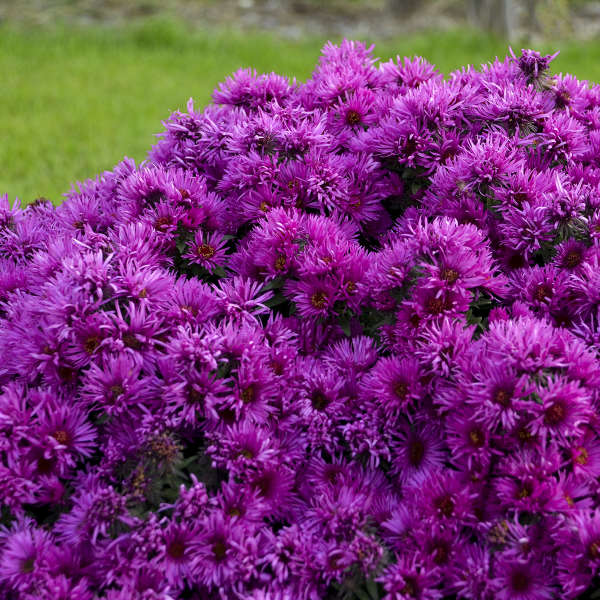 Aster 'Pink Crush' New England Aster