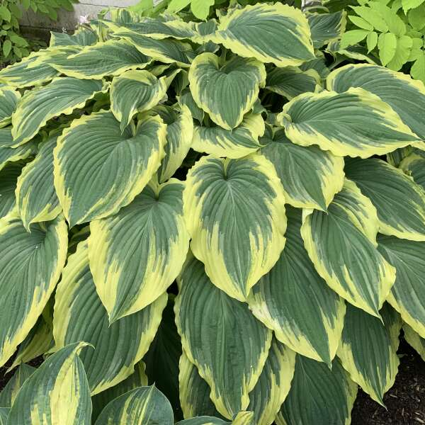 Hosta 'Drop-dead Gorgeous' Hosta
