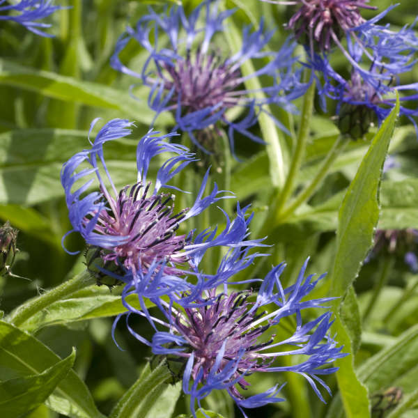 Centaurea 'Blue' Perennial Bachelor's Button