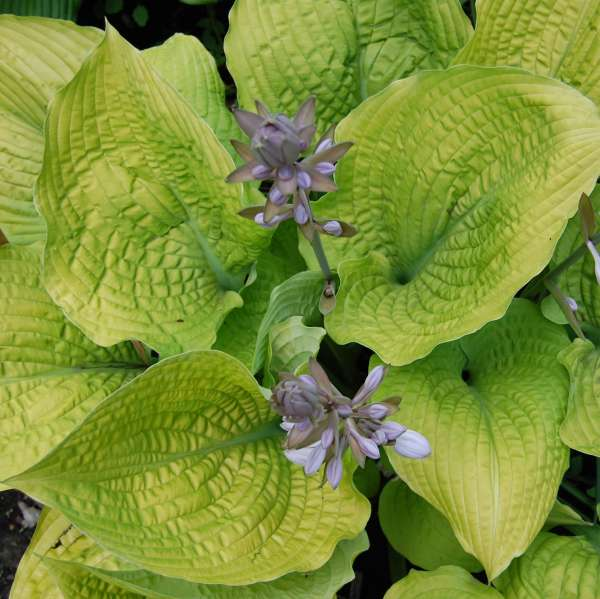Hosta 'Coast to Coast' Hosta
