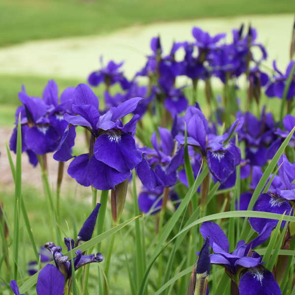 Iris 'Caesar's Brother' Siberian Iris