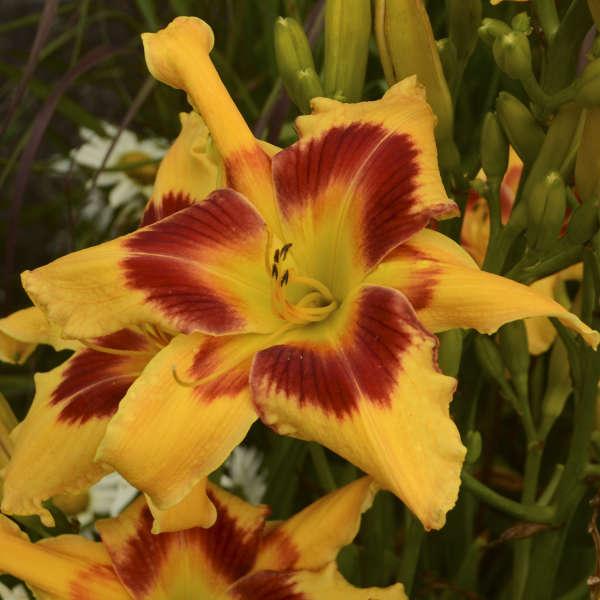 Hemerocallis 'Tiger Swirl' Daylily