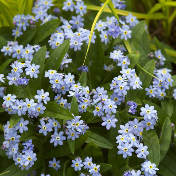 Myosotis 'Royal Blue Compact' Forget-Me-Not