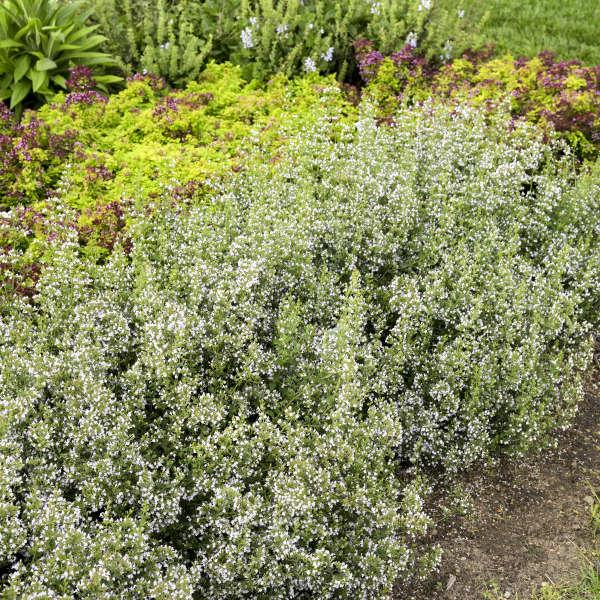 Calamintha nepeta ssp. nepeta Calamint