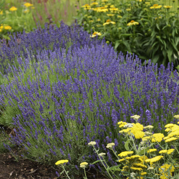 Lavandula 'Hidcote' Lavender