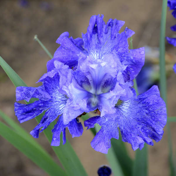 Iris 'Blueberry Fair' Siberian Iris