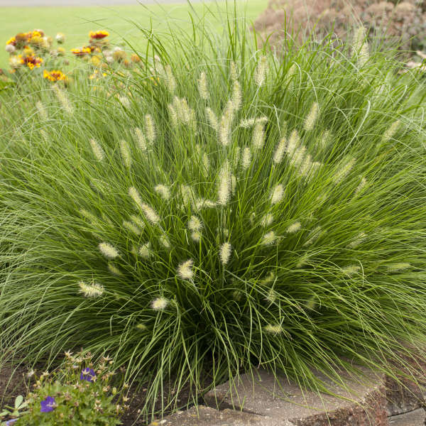 Pennisetum alopecuroides 39 little bunny 39 perennial resource for Common ornamental grasses