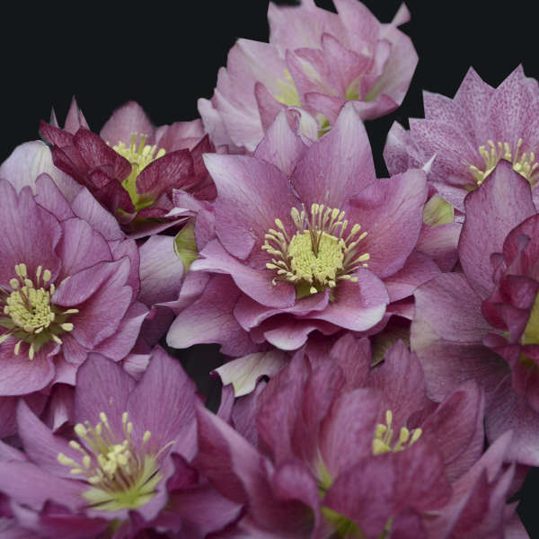Growing Hellebores Those Lovely Harbingers Of Spring: Helleborus 'Maid Of Honor'