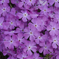 Phlox 'Rose Quartz'