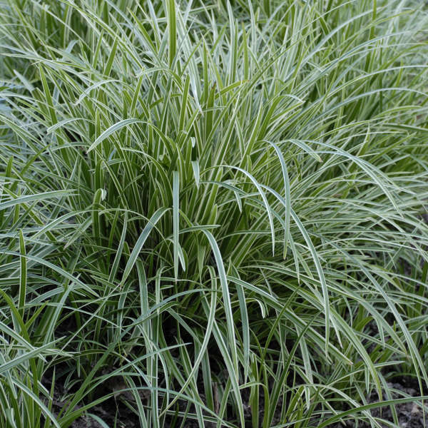 Carex 'Ice Dance' Variegated Sedge