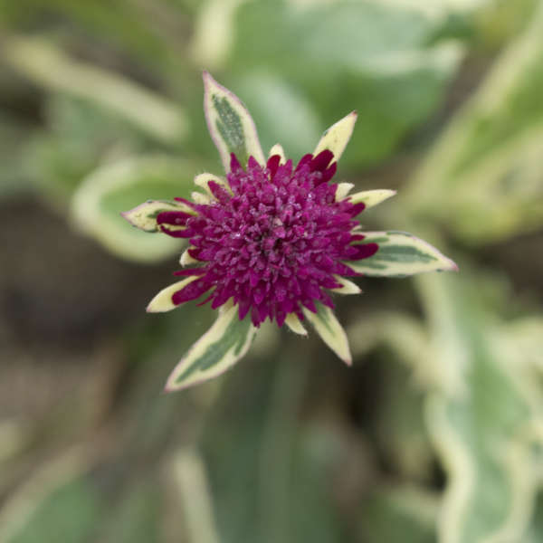 Knautia 'Thunder and Lightning' Knautia