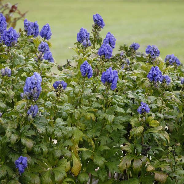 Aconitum fischeri Azure Monkshood