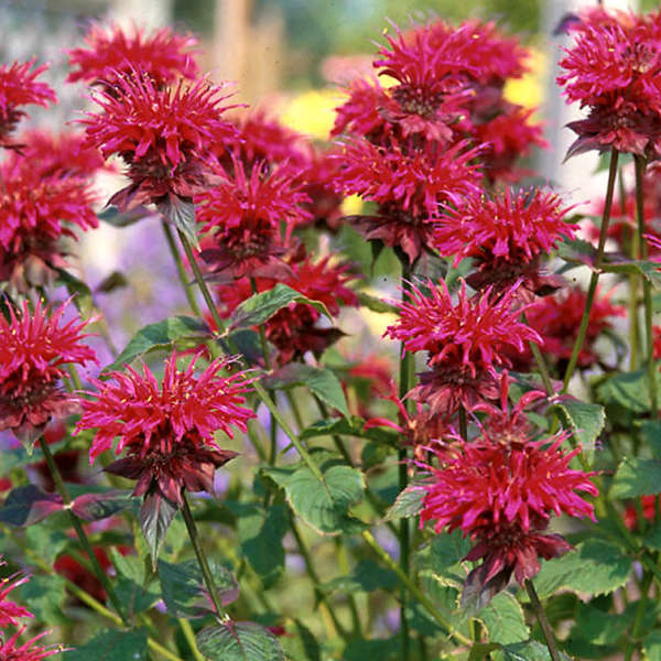 Monarda 'Colrain Red' Bee Balm
