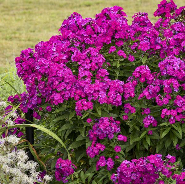 Phlox 'Ultraviolet' Tall Garden Phlox