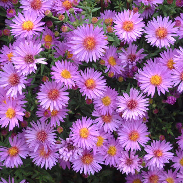 Aster 'Wood's Purple' New York Aster