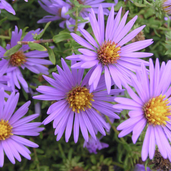 Aster 'October Skies' Aromatic Aster