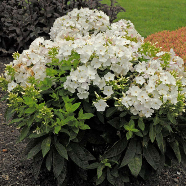 Phlox 'Shorty White' Tall Garden Phlox
