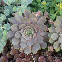 Sempervivum 'Pacific Blue Ice'