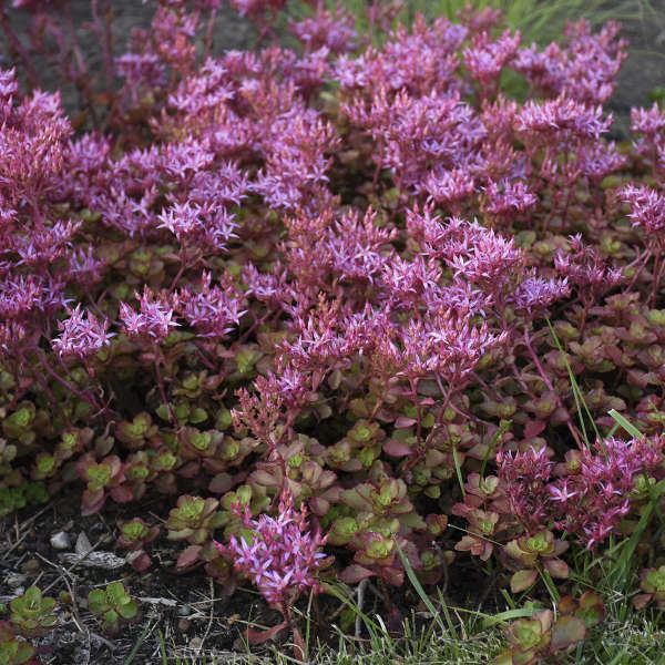 Sedum 'Fulda Glow' Two-row Stonecrop
