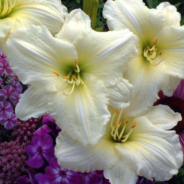Hemerocallis 'Joan Senior' Daylily