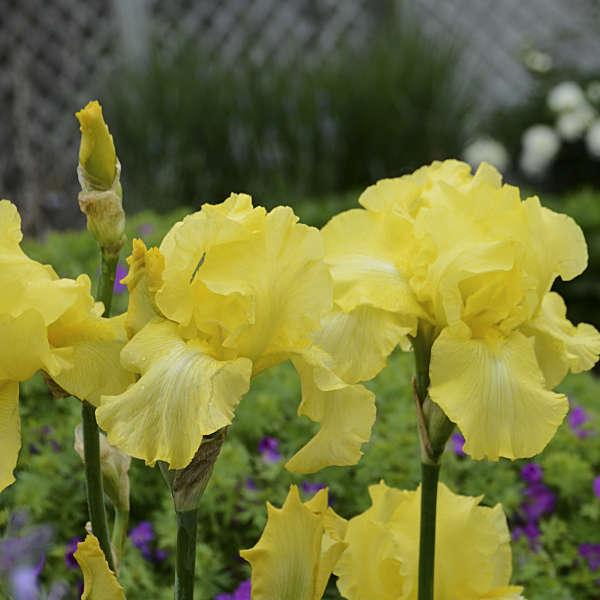 Iris 'Harvest of Memories' Tall Bearded Iris