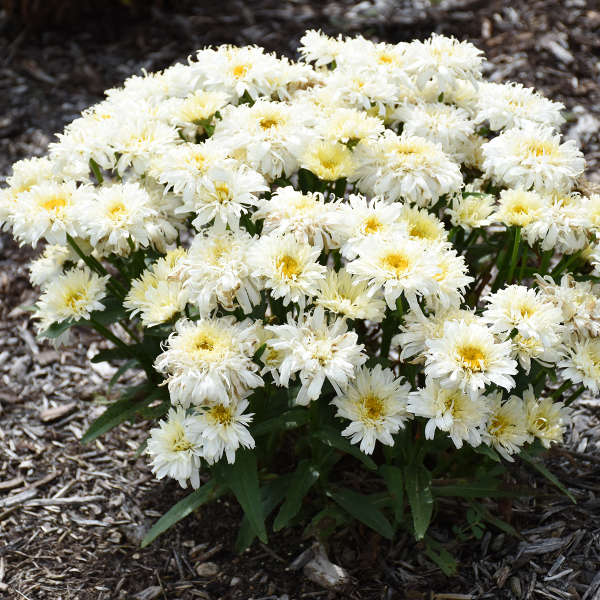 Leucanthemum 'Ice Cream Dream' Shasta Daisy