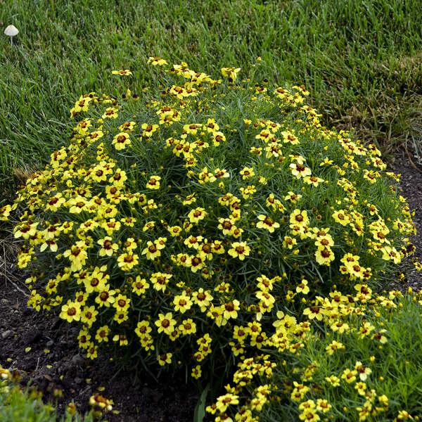 Coreopsis 'Sassy Saffron' Threadleaf Coreopsis