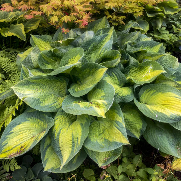 Hosta Brother Stefan Walters Gardens Inc