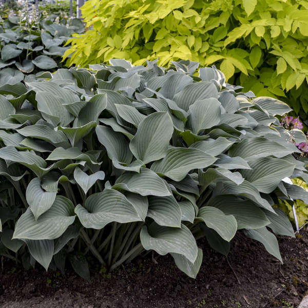 Hosta 'Krossa Regal' Hosta