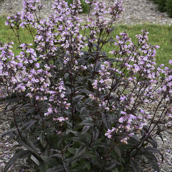 Penstemon 'Blackbeard' Beardtongue