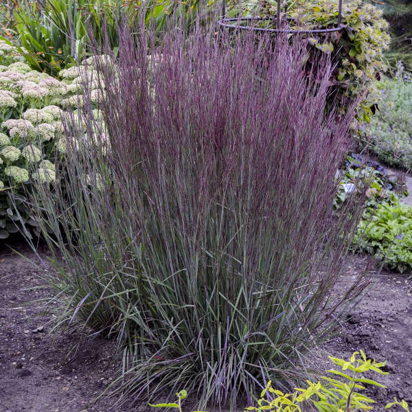 Schizachyrium 'Blue Paradise' Little Bluestem