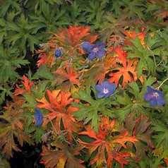 Geranium 'Brookside' Hardy Geranium