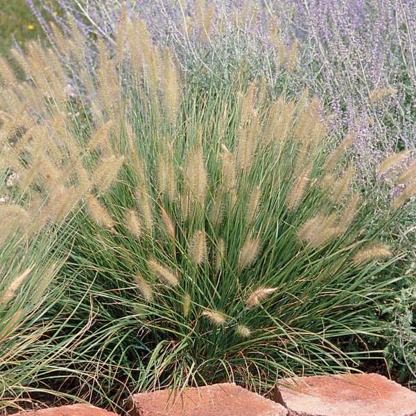 Pennisetum alopecuroides 39 hameln 39 perennial resource for Dwarf grasses perennials