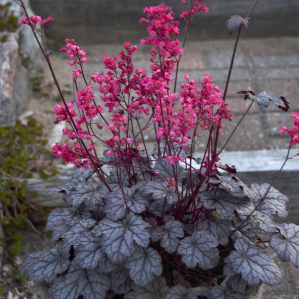 Heuchera 'Timeless Treasure' Coral Bells