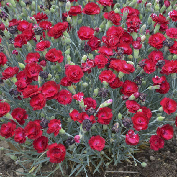 Dianthus 'Electric Red' Pinks