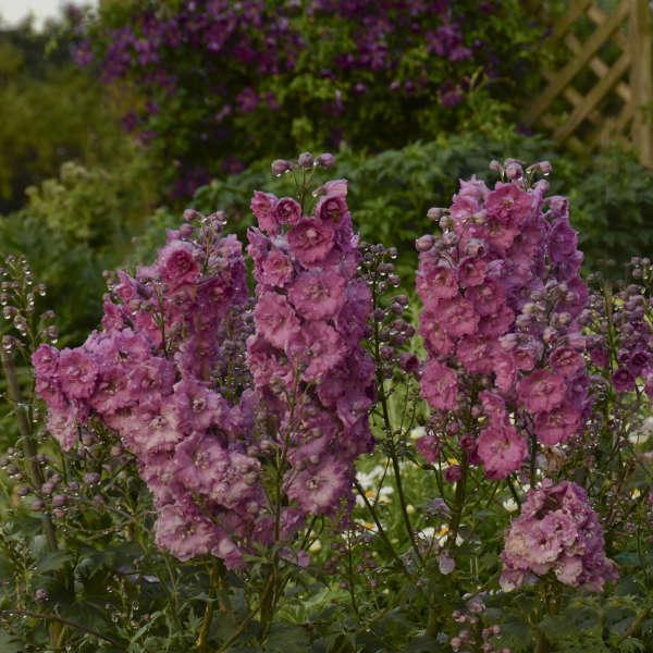 Delphinium 'Pink Punch' Hybrid Bee Delphinium