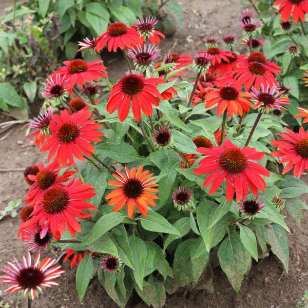 Echinacea Sombrero Sangrita Balsomanita Pp30138 Us7 982 110