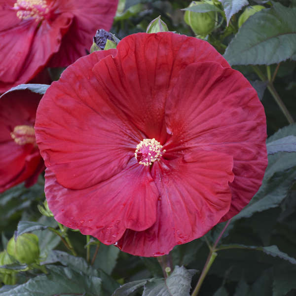 Hibiscus var. 'Cranberry Crush' Rose Mallow