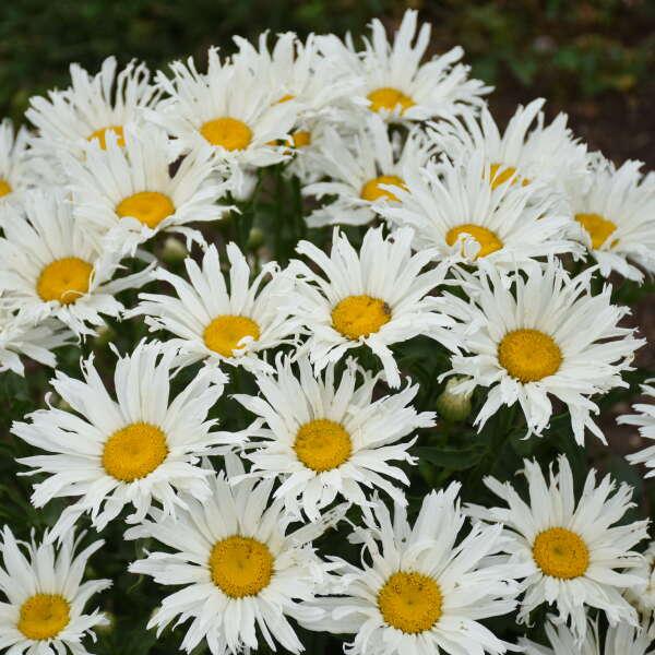 Leucanthemum 'Spun Silk' Shasta Daisy