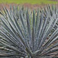 Yucca 'Excalibur'