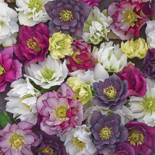 Helleborus WEDDING PARTY™ Series - Mixed Lenten Rose